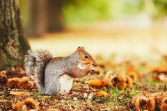 Cute squirrel in autumn scene Royalty Free Stock Photos