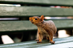 Cute squirrel on bench Royalty Free Stock Photo