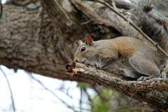 Cute squirrel on branch Royalty Free Stock Photography