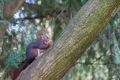 Cute squirrel climbing the tree stock photos