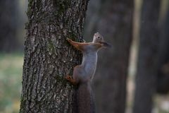 Squirrel climbing on the tree Royalty Free Stock Image