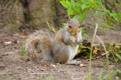 Cute squirrel eating an acorn Royalty Free Stock Photo