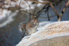 Cute squirrel eating at the bird feed area. Stock Photography