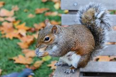 A cute squirrel eating its nut royalty free stock photos