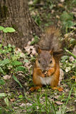 Cute squirrel eating nut. In forest Stock Image