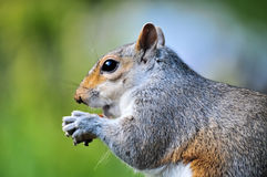 Cute squirrel eating a nut Royalty Free Stock Photos