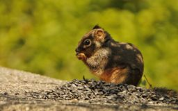 Cute squirrel eating a nut Stock Photography