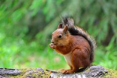 Cute squirrel eating a nut Royalty Free Stock Photography
