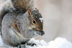 Cute Squirrel Eating On Wooden Fence Cover In White Snow, Cute Rodent. Royalty Free Stock Photo