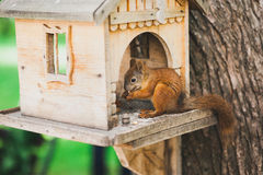 Cute squirrel feeding Royalty Free Stock Photography