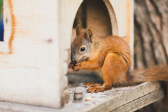 Cute squirrel feeding Royalty Free Stock Image