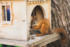 Cute squirrel feeding Stock Photo