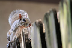 Cute squirrel on fence Stock Photography