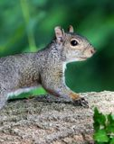 Cute Squirrel HD portrait looking for food on wood. Cute Squirrel looking on wooden fence in spring in Michigan royalty free stock image