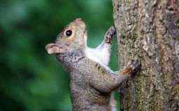 Cute Squirrel HD portrait looking for food on wood. Cute Squirrel looking on wooden fence in spring in Michigan stock photography