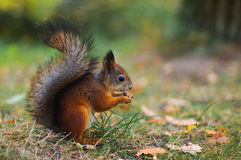 Cute squirrel on the lawn. Park squirrel gnaws something on the lawn Stock Photos