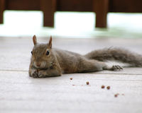 Cute squirrel laying on deck. Cute squirrel laying on a deck as it eats the small pellets left behind on the ground Royalty Free Stock Photography
