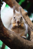 Cute Squirrel Royalty Free Stock Photography