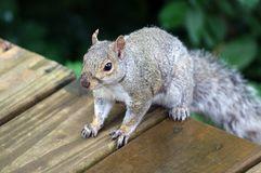 Cute Squirrel looking for food on wooden fence. Cute Squirrel looking on wooden fence in spring in Michigan stock images