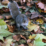 Cute squirrel looking up. Squirrel (Sciurus carolinensis) standing on fallen leaves and grass Stock Photos