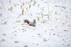 Cute squirrel looking at winter scene, snowy park or forest Royalty Free Stock Photography