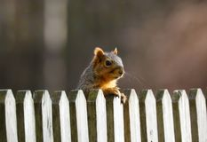 Cute Squirrel looking on wooden fence. In spring in Michigan stock images