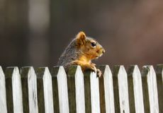 Cute Squirrel looking on wooden fence. In spring in Michigan royalty free stock photography