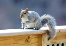 Cute Squirrel looking on wooden fence. In spring in Michigan royalty free stock image