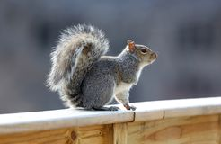 Cute Squirrel looking on wooden fence. In spring in Michigan royalty free stock images