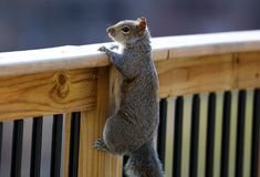 Cute Squirrel looking on wooden fence. In spring in Michigan stock image