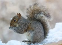 Cute Squirrel eating on wooden fence cover in white snow, cute rodent. royalty free stock photos
