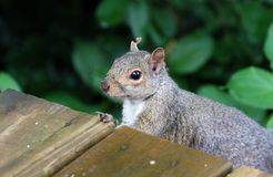 Cute Squirrel HD portrait looking for food on wood. Cute Squirrel looking on wooden fence in spring in Michigan stock images