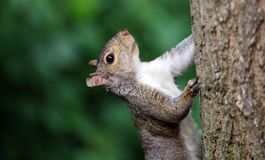 Cute Squirrel HD portrait looking for food on wood. Cute Squirrel looking on wooden fence in spring in Michigan royalty free stock photo