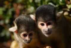 Cute squirrel monkey. (Saimiri) subfamily: saimiriinae stock photography