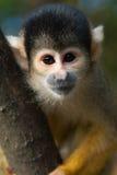 Cute squirrel monkey. (Saimiri) subfamily: saimiriinae stock photos