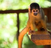 Cute squirrel monkey Stock Photos
