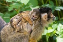 Cute squirrel monkey Royalty Free Stock Photo
