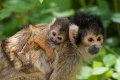 Cute squirrel monkey. With baby (Saimiri) subfamily: saimiriinae royalty free stock photography
