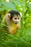 Cute squirrel monkey. (Saimiri) subfamily: saimiriinae Royalty Free Stock Image