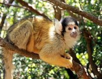 Cute squirrel monkey Royalty Free Stock Image