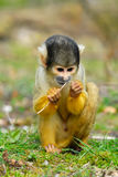 Cute squirrel monkey. (Saimiri) subfamily: saimiriinae Royalty Free Stock Photo