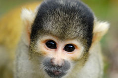 Cute squirrel monkey Stock Photography