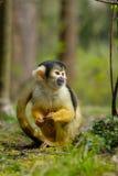 Cute squirrel monkey Royalty Free Stock Photos