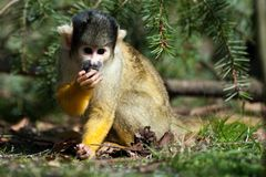 Cute squirrel monkey Royalty Free Stock Photography