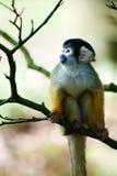 Cute squirrel monkey. (Saimiri) subfamily: saimiriinae royalty free stock photo
