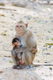 Cute squirrel monkey with baby Stock Image
