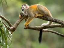 Cute Squirrel monkey in a branch. Squirrel monkey in a branch in Costa Rica Stock Photography