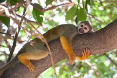 Cute Squirrel Monkey hugging a tree branch Royalty Free Stock Photo