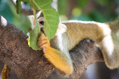 Cute Squirrel Monkey looking playfully through leafs.  stock image