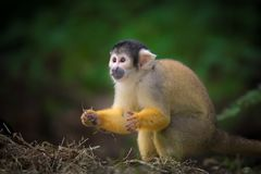 Squirrel monkey surprised. Cute squirrel monkey looks surprised stock images